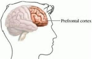prefrontal cortex2